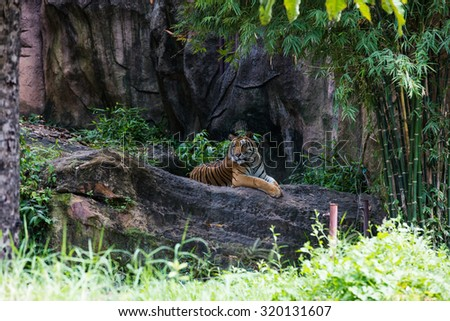 Big sumatran tiger in the zoo - stock photo