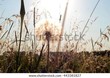 Big summer dandelion at sunset, close-up, outdoors, flora and nature, selective focus - stock photo