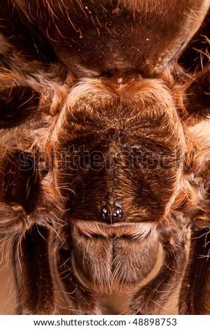 Big Tarantula Closeup - stock photo