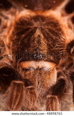 Big Tarantula Extreme closeup - stock photo