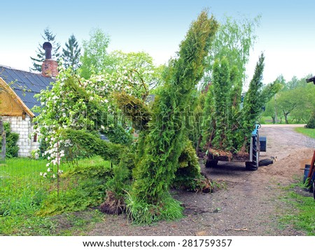 Big thuja or cypress trees for replanting in tractor rear shovel - stock photo