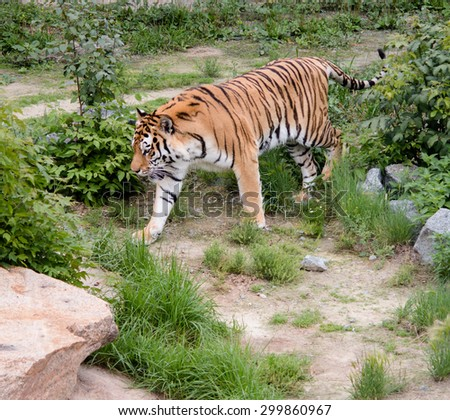 big tiger calmly walking on the trail - stock photo