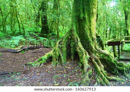 Big tree in deep forest, Intanon mountain ,Chiang Mai, Thailand - stock photo