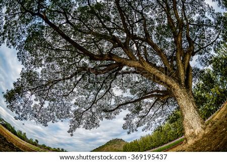 Big tree with fisheye lens. - stock photo