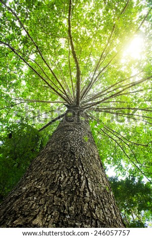 Big tree with green leaves, Sunlight through on tree - stock photo