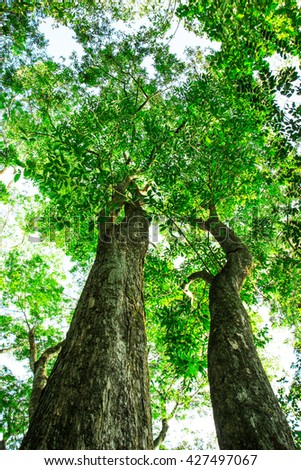 Big tree with green leaves, tall trees - stock photo