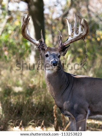 Big, trophy white-tail buck deer shedding his velvet.  Late summer in Wisconsin - stock photo