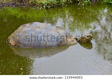Big turtle lying in a pond. Galapagos. - stock photo