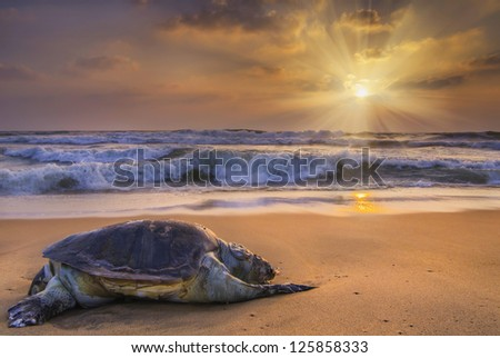 Big Turtle on the tropical oceans taken during the sunrise - stock photo