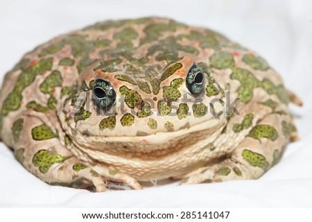 Big Ugly Frog Common European Toad Bufo - stock photo