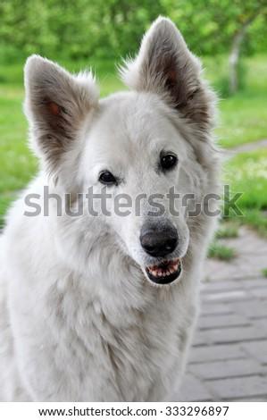 big white sheep dog smiling - stock photo