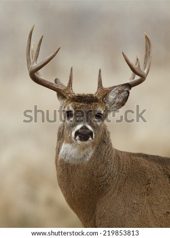 Big Whitetail Buck - highly detailed portrait of a trophy class White-tailed Deer White Tail Deer hunting season in Wisconsin, Minnesota, Michigan, Iowa, Indiana, Illinois, Ohio, Missouri, New York - stock photo