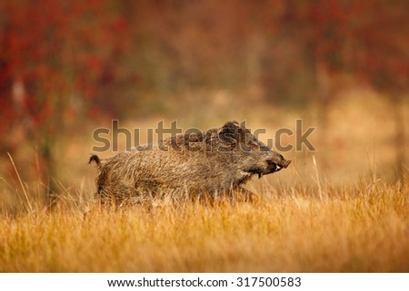 Big Wild boar, Sus scrofa, running in the grass meadow, red autumn forest in background - stock photo