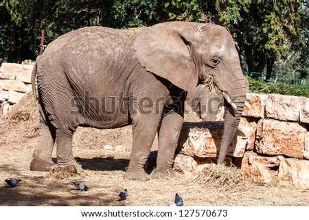 big wild elephant eating in zoo - stock photo