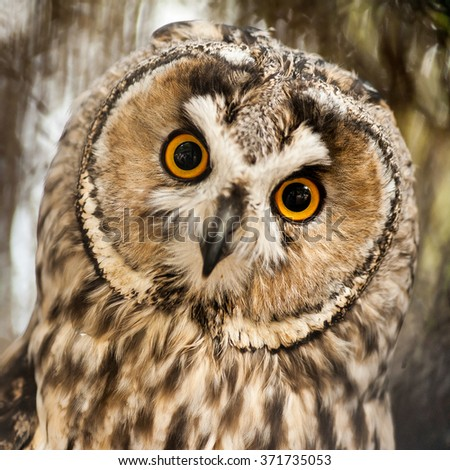 Big yellow eyed eagle owl looking at you with twisted out neck - stock photo