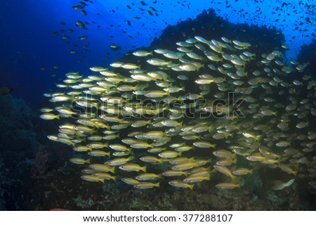 Bigeye Snapper fish on a coral reef in Similan Islands, Thailand - stock photo