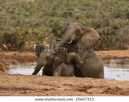 Bigger bull tries to dominate smaller one in mud hole. - stock photo