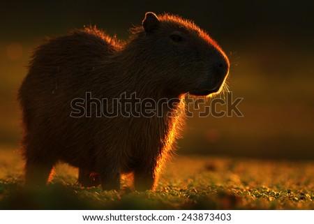 Biggest mouse around the world, Capybara, Hydrochoerus hydrochaeris, with evening light during sunset, Pantanal, Brazil - stock photo