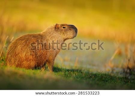 Biggest mouse, Capybara, Hydrochoerus hydrochaeris, with evening light during sunset, Pantanal, Brazil  - stock photo