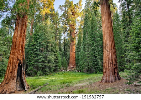 Biggest tree on earth, general Sherman, this Giant sequoia redwood tree stands in Sequoia National Park, California, USA America - stock photo