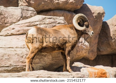 Bighorn Sheep Climbing on the Rocks. Montana Wildlife. - stock photo