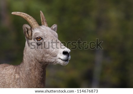 Bighorn Sheep ewe, near Many Glacier Lodge & Hotel; Glacier National Park, Montana - stock photo