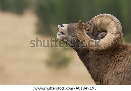Bighorn Sheep, huge ram with full curl horns, doing a lip curl, or flehmen response, during the autumn rut, or mating season Ovis canadensis - stock photo