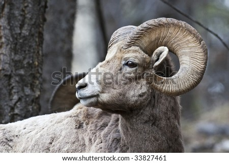 Bighorn Sheep in Banff National Park, Alberta, Canada - stock photo