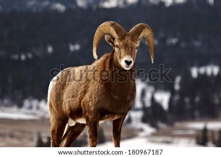 Bighorn Sheep in winter - stock photo