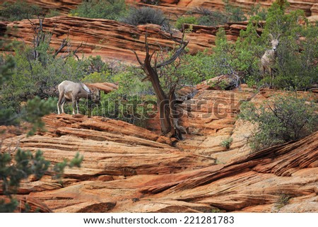 Bighorn Sheep live in the colorful sandstone cliffs of Zion National Park, Utah, USA. - stock photo