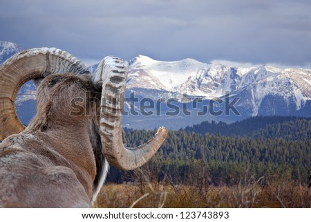 Bighorn Sheep overlooking a mountain landscape. - stock photo