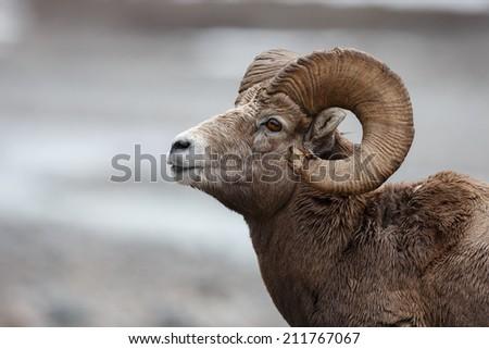 Bighorn Sheep portrait - stock photo