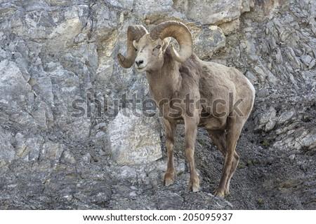 Bighorn sheep ram - stock photo