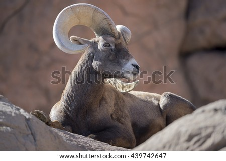 Bighorn sheep ram sits on  rock. - stock photo