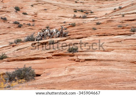 Bighorn Sheeps on red rocks of Zion National Park - stock photo