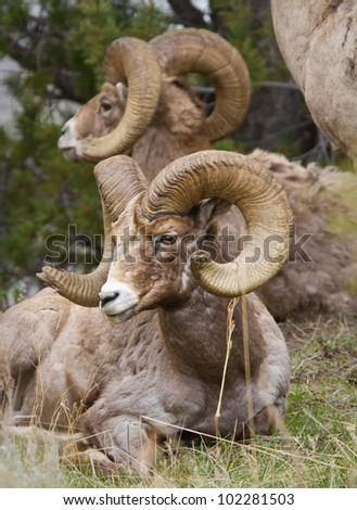 Bighorns sheep laying down in Yellowstone - stock photo