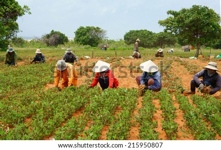 BINH THUAN, VIETNAM- SEPT 4: Group of Asia farmer working on agriculture plantation,  Vietnamese family  harvest peanut on red soil, crowded scene on day, primitive agricultural,Viet Nam, Sept 4, 2014 - stock photo
