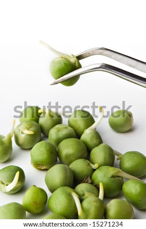biochemistry research concept - pea examination on tweezers - stock photo