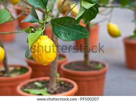 Biological Lemons on tree in the pot - stock photo