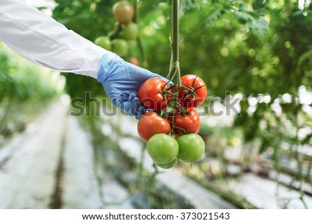 Biotechnology woman engineer examining a plants for disease from greenhouse farm. Food scientist showing tomatoes in a greenhouse. - stock photo