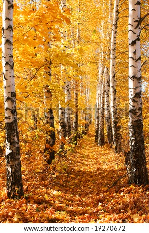 Birch autumnal alley. Sun weather. Nature background. - stock photo