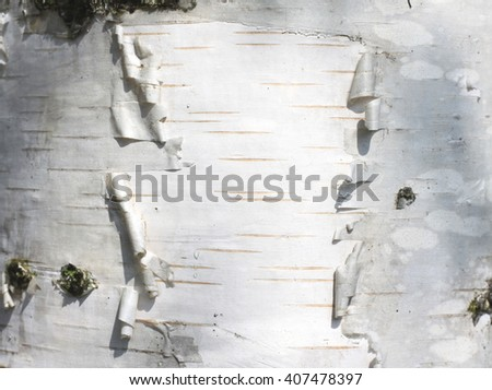birch bark texture natural background paper close-up - stock photo