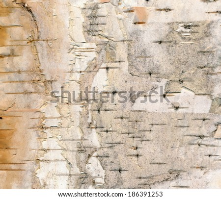 Birch (Betula pendula) bark - upper side - stock photo