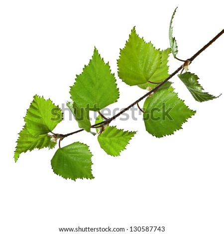 birch branch  close up macro shot isolated on white background - stock photo