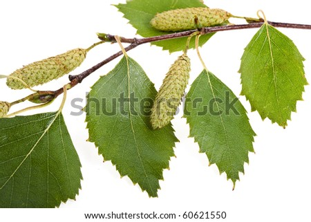 birch branches on white - stock photo