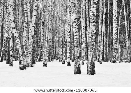 Birch forest in winter in black and white - stock photo