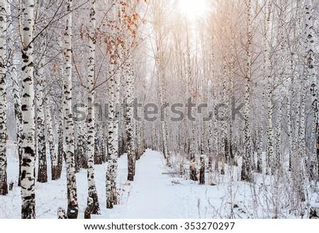 Birch forest on blue sky background, winter landscape - stock photo