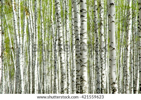 birch grove in the spring landscape background - stock photo