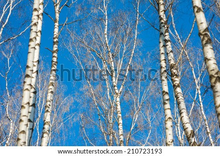 Birch is a broadleaved deciduous hardwood tree of the genus Betula in the family Betulaceae, which also includes alders, hazels, and hornbeams, and is closely related to the beech and oak family. - stock photo