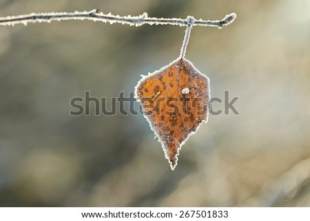 Birch leaf covered frost. - stock photo